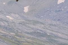 trois gypaètes en vol dans la vallée du giffre